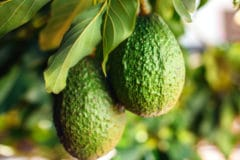 avocado-tree-care