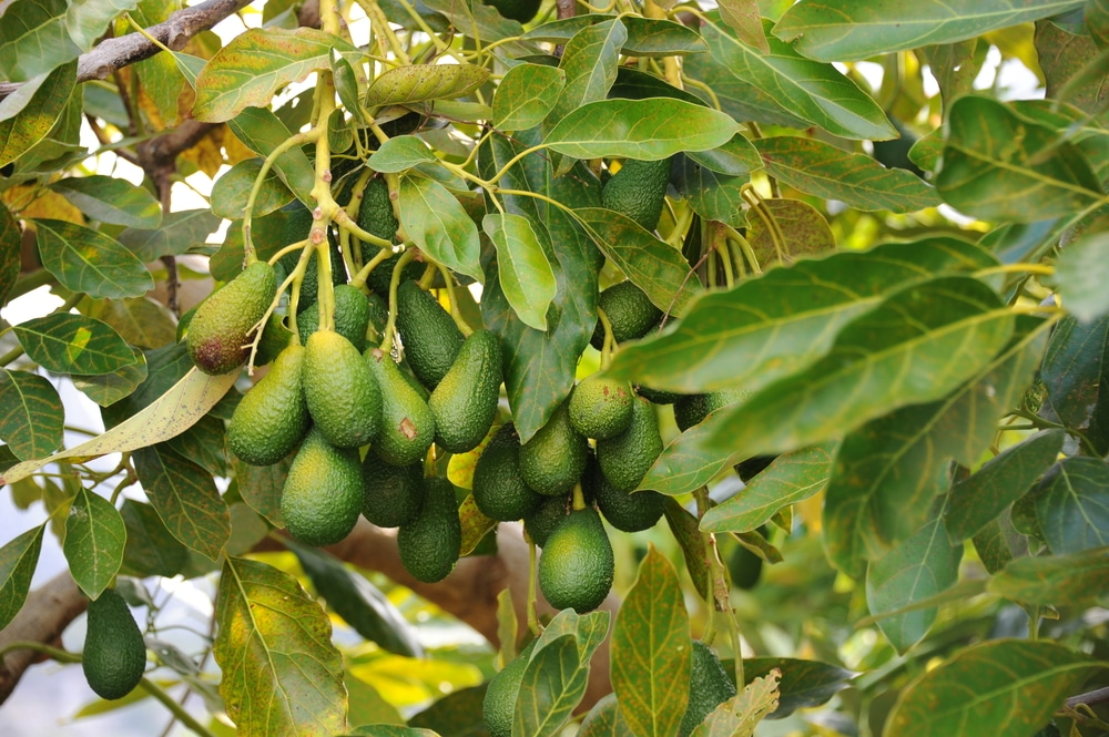 Avocado Trees Images