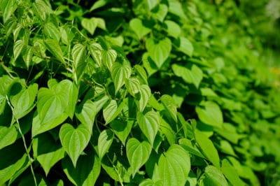 bean-leaves
