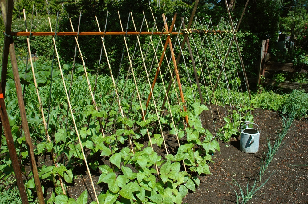 Bean Trellis Top Tips on Making and Selecting