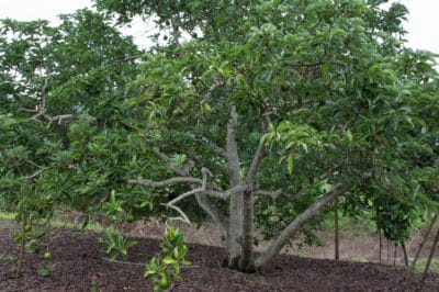 big-avocado-trees-get