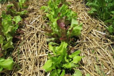 bitter-lettuce