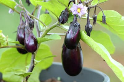 can-grow-eggplant-pot