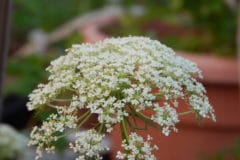 carrot-flowers-pretty-edible-grow-seeds