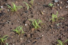 carrot-germination