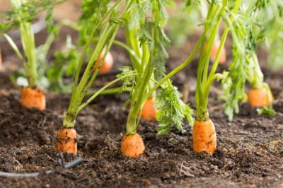 carrots-in-the-ground