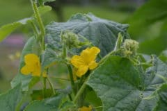cucumber-leaves