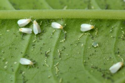 cucumber-pests