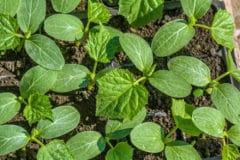 cucumber-seedlings