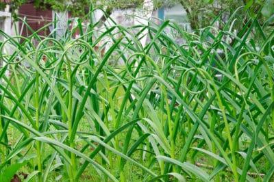 cut-garlic-scapes