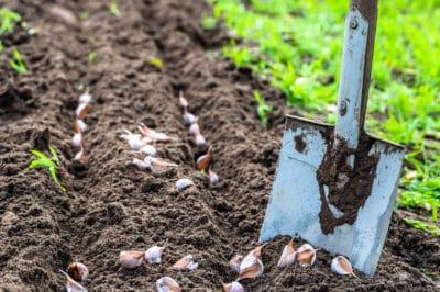 deep-plant-garlic