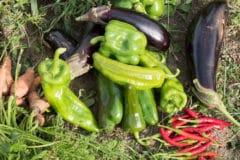 eggplant-companion-plants