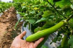 eggplant-height