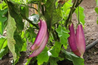 eggplant-yield-per-plant