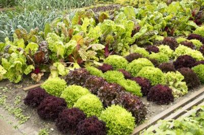far-apart-plant-lettuce