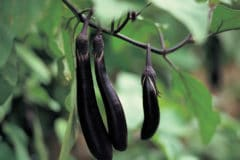 grow-chinese-eggplant
