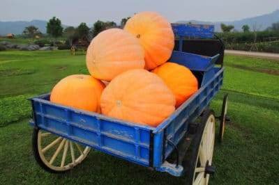 grow-giant-pumpkins