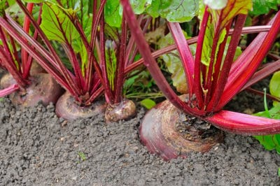 growing-beets