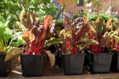 growing-beets-containers