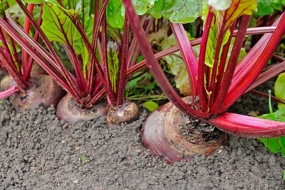 Growing Beets Like Your Were Born a Beet Farmer