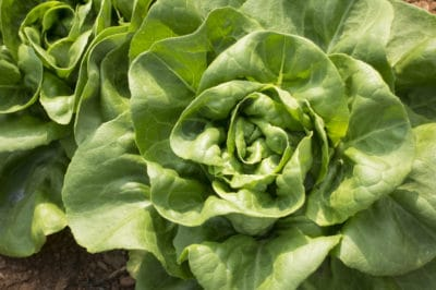 growing-butter-lettuce