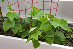 growing-cucumbers-indoors