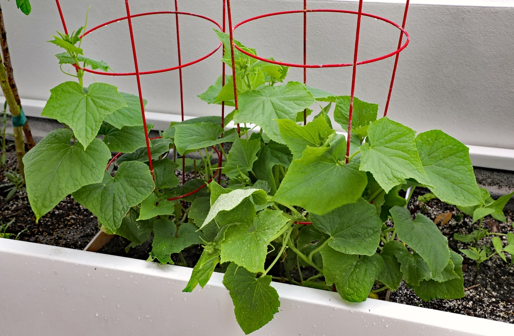 growing cucumbers indoors yes you can