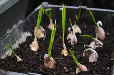 growing-garlic-indoors