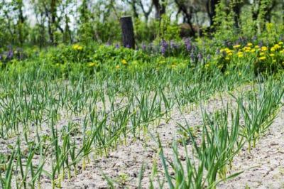growing-garlic-texas