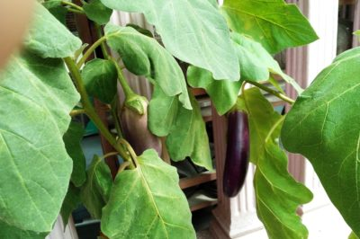growing-japanese-eggplant-containers