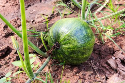 growing-kabocha-squash