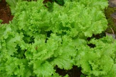 growing-leaf-lettuce