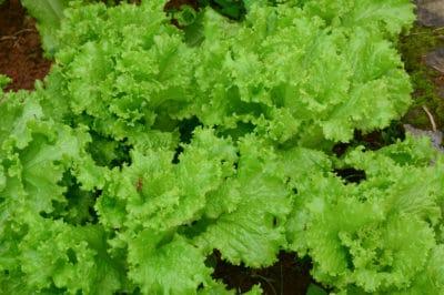 growing-leaf-lettuce