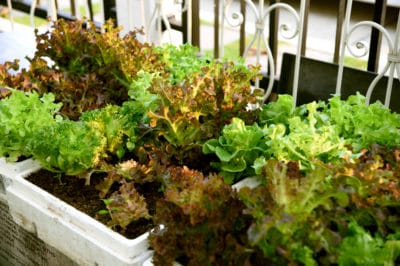 growing-lettuce-containers