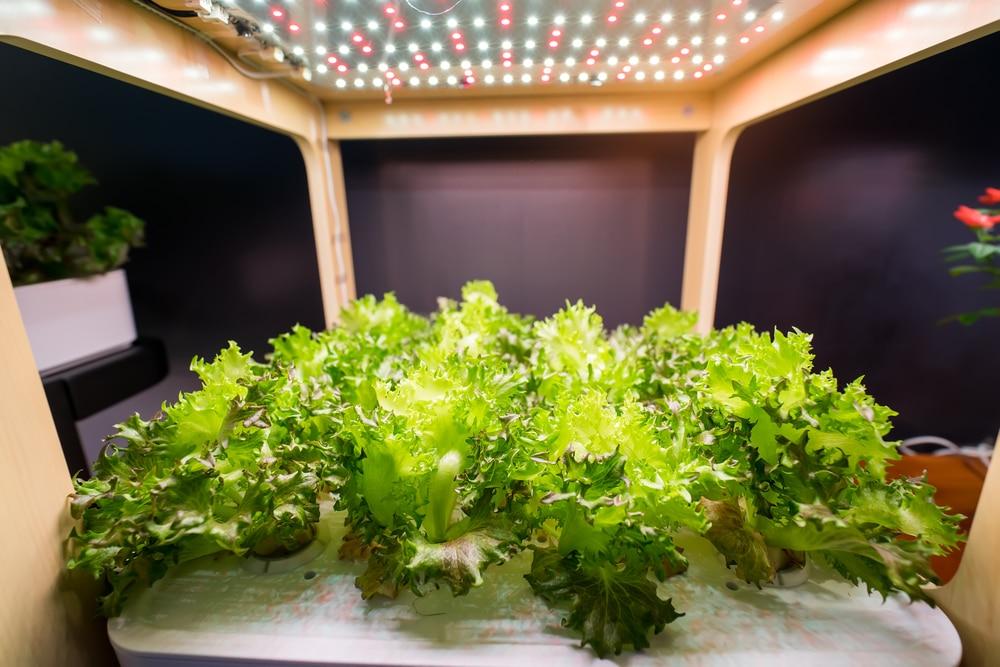 Growing lettuce indoors top tips on all methods for Eco indoor garden house