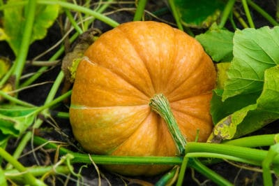 growing-pumpkins