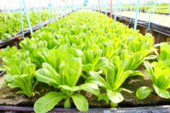 growing-romaine-lettuce