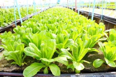 growing-romaine-lettuce