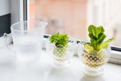 growing-romaine-lettuce-scraps