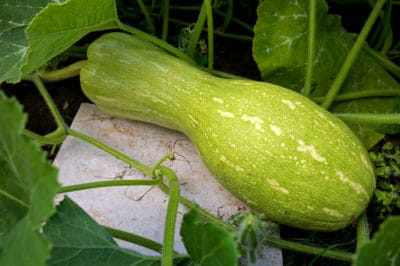growing-winter-squash