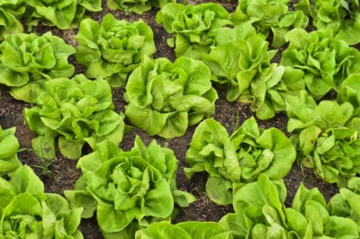 harvest-buttercrunch-lettuce