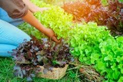 harvest-leaf-lettuce