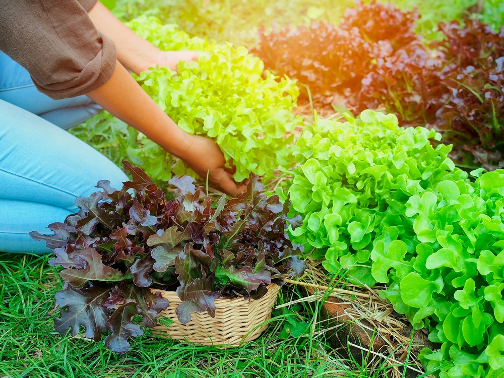 Havesting leaf lettuce like a pro for How to pick lettuce from garden