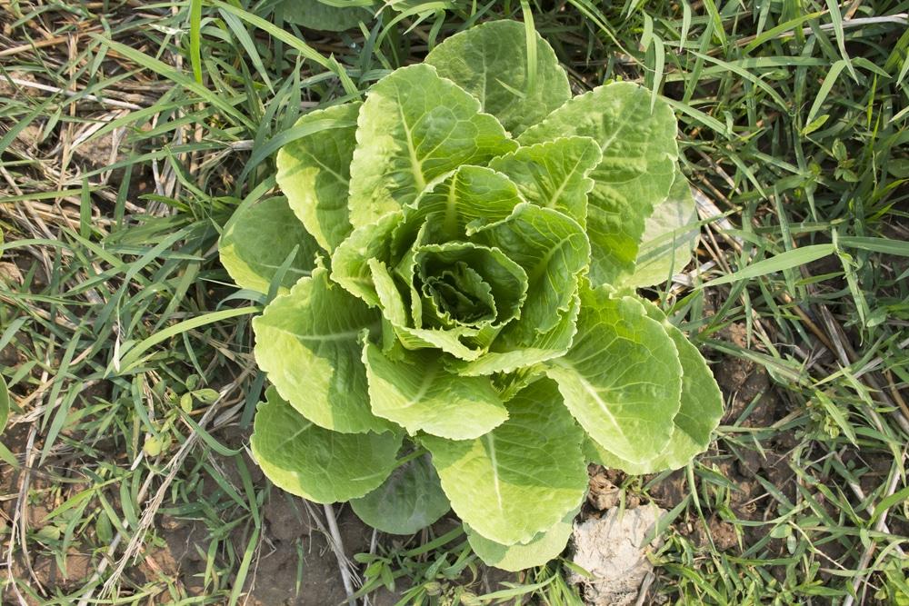 When to harvest romaine lettuce for How to pick lettuce from garden