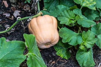 harvest-winter-squash