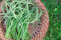 harvesting-garlic-scapes
