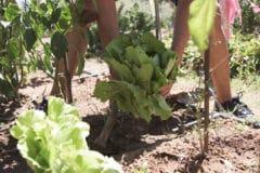 harvesting-romaine-lettuce
