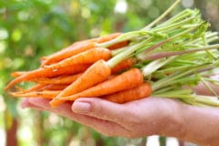 how-do-baby-carrots-grow