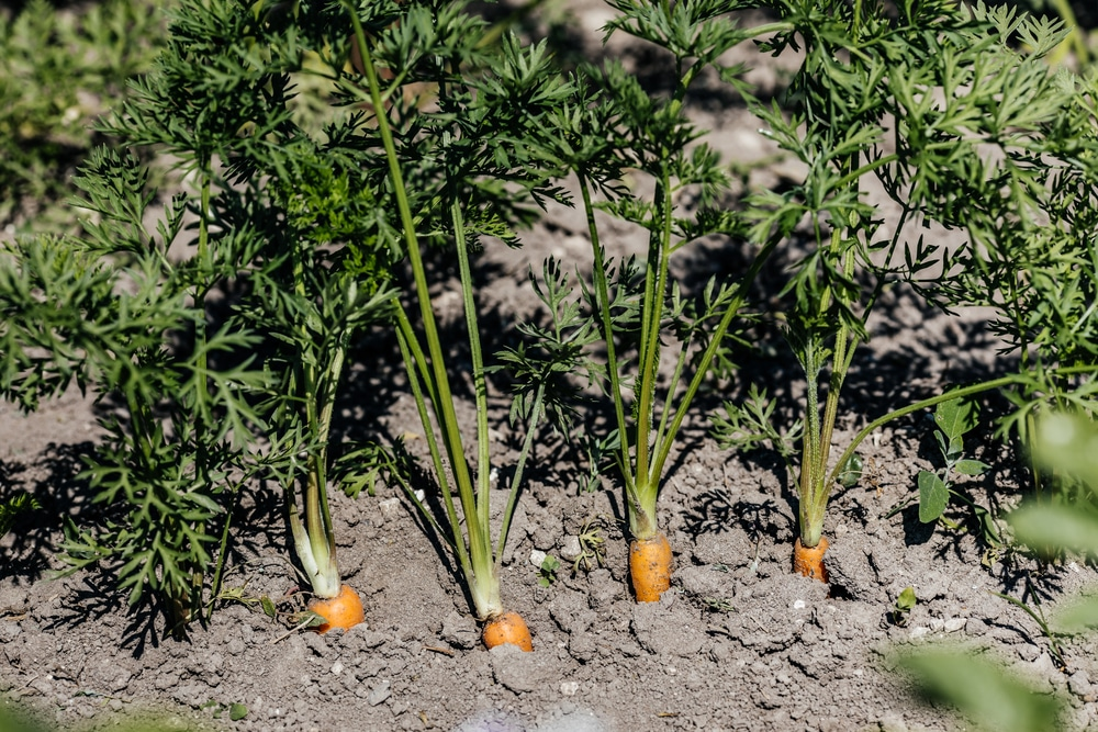 How Far Apart To Plant Carrots