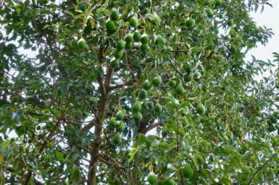 How to Grow Avocado Trees » Top Tips for Success